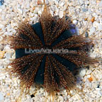 Red Tuxedo Urchin (click for more detail)