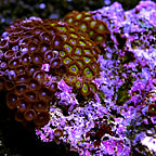 Kryptonite and Purple Abyss Colony Polyp Rock Zoanthus Indonesia IM (click for more detail)
