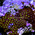 Atomic Frog Eye and Purple Abyss Colony Polyp Rock Zoanthus Indonesia IM (click for more detail)