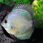 Blue Snakeskin Discus (click for more detail)