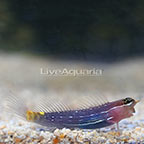 White Lined Combtooth Blenny (click for more detail)