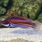 Labout's Fairy Wrasse Terminal Phase Male (click for more detail)