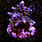 Bottlebrush Acropora Coral Indonesia (click for more detail)