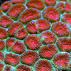 Aussie Favia Brain Coral  (click for more detail)