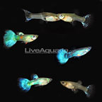 Purple Snowflake Guppy (Group of 6) (click for more detail)