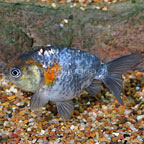Calico Ranchu Lionhead Goldfish (click for more detail)