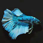 Halfmoon Betta (click for more detail)