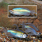 Longfin Congo Tetra (Group of 3) [Blemish] (click for more detail)