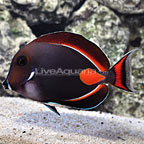 Achilles Tang Adult [Expert Only] (click for more detail)