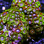 Blue Ice and Orange Delight Colony Polyp Rock Zoanthus Vietnam IM (click for more detail)