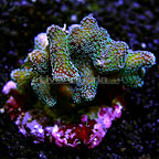 Stylophora Coral Indonesia (click for more detail)