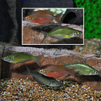 Millenium Rainbowfish (Group of 6) (click for more detail)