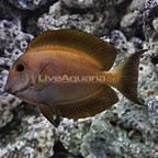 Striated Bristletooth Tang Adult (click for more detail)