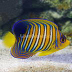 Maldives Yellow Belly Regal Angelfish Juvenile EXPERT ONLY (click for more detail)