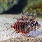 Fuzzy Dwarf Lionfish (click for more detail)