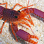 Debelius Reef Lobster (click for more detail)