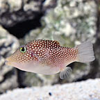 Central American Spotted Sharp Nose Puffer (click for more detail)