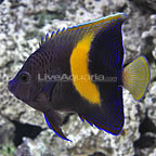 Maculosus Angelfish Adult (click for more detail)