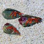 Halloween Hermit Crab (3-Lot) (click for more detail)