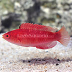 Redfin Fairy Wrasse Initial Phase (click for more detail)