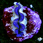 Cocos Cultured Maxima Clam, Blue/Purple (click for more detail)