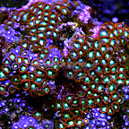 Swamp Gas Colony Polyp Rock Zoanthus Indonesia IM (click for more detail)