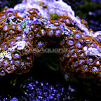 Fiery Grape Colony Polyp Rock Zoanthus Vietnam IM (click for more detail)