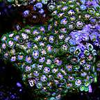 Passion Flower Colony Polyp Rock Zoanthus Vietnam IM (click for more detail)