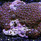 Pink Rays Colony Polyp Rock Zoanthus Indonesia IM (click for more detail)