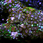 Combo Colony Polyp Rock Zoanthus Vietnam  (click for more detail)