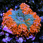 Pacific Flower Mushroom Rock Ricordea Yuma Indonesia (click for more detail)