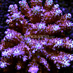 Digitate Acropora Coral Fiji (click for more detail)