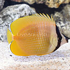 African Orange Butterflyfish  (click for more detail)