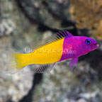 Blue Eye Royal Dottyback (click for more detail)