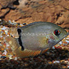 Red Spot Turquoise Severum Cichlid (click for more detail)