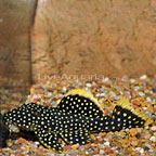 Gold Nugget (L-18) Plecostomus (click for more detail)