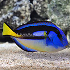 Large Yellow Belly Blue Tang (click for more detail)