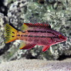 Mexican Hogfish (click for more detail)