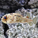 Porcupine Puffer  (click for more detail)