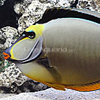 Extra Large Naso Tang Male w/ Streamers (click for more detail)