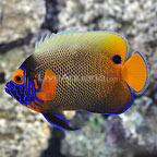 Blue Face Angelfish Adult (click for more detail)