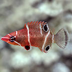 White Banded Possum Wrasse (click for more detail)