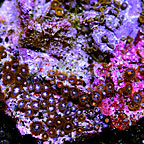 Orange Delight Colony Polyp Rock Zoanthus Indonesia IM (click for more detail)
