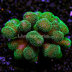 Aussie Stylophora Coral (click for more detail)