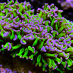 Reverse Stem Hammer Coral Indonesia (click for more detail)