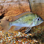 Cupid Cichlid (click for more detail)