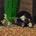 Koi Angelfish (Group of 6) (click for more detail)