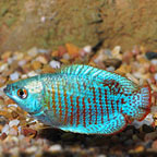 Neon Blue Dwarf Gourami (click for more detail)