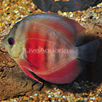 Rose Pink Discus (click for more detail)
