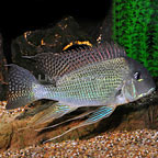 Redstriped Eartheater Cichlid (click for more detail)